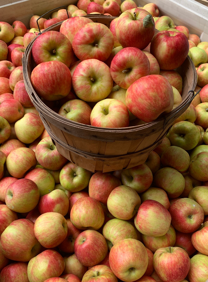 Crop Report: Fresh Picked Honeycrisp Apples!