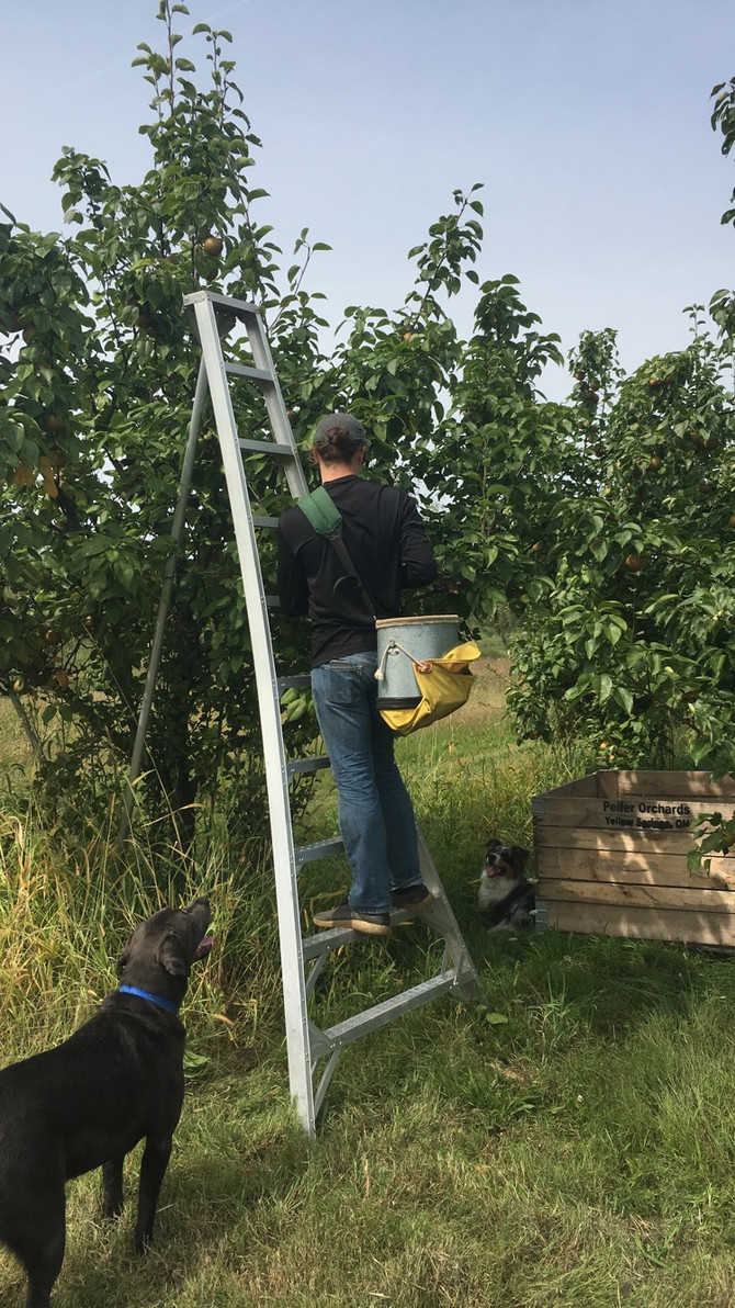 Behind the scenes: apple and pear picking