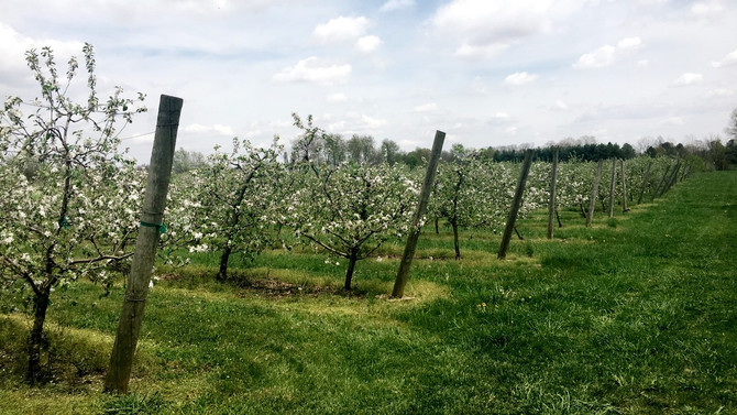 Our Apple Trees Are Blooming!