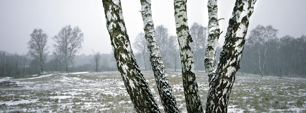 Wahner Heide_Birken Schnee.jpg