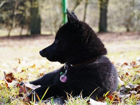 Chovatelovo dilema – nechat si štěně s vadou?