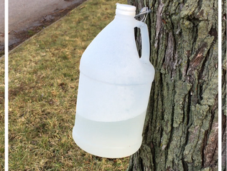 Tapping a Maple Tree at Home, Part 1