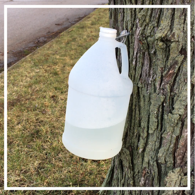 Tapping the Silver Maple Tree