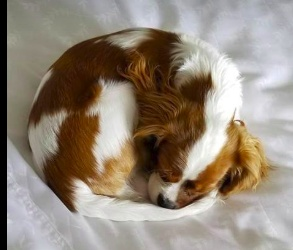 This is Peaches, our King Charles Cavalier pup at 5 months old and 7 lbs