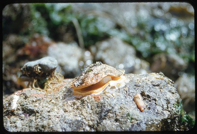 Rock Scallop (Crassadoma gigantea)