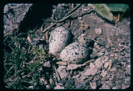 Killdeer Eggs, Island View Beach