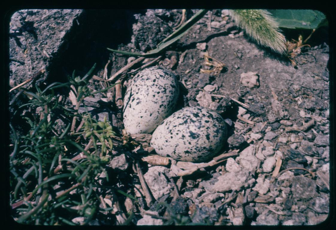 Killdeer Eggs, Island View Beach