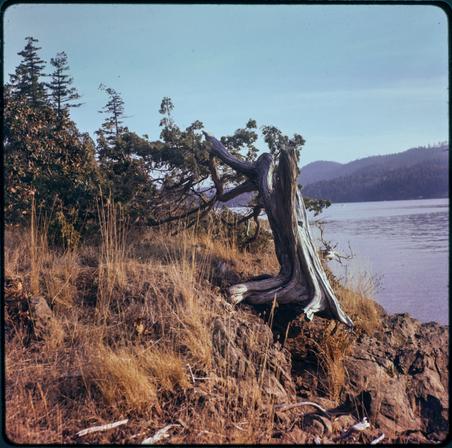 Juniperus Martima, 'Seaside Juniper'