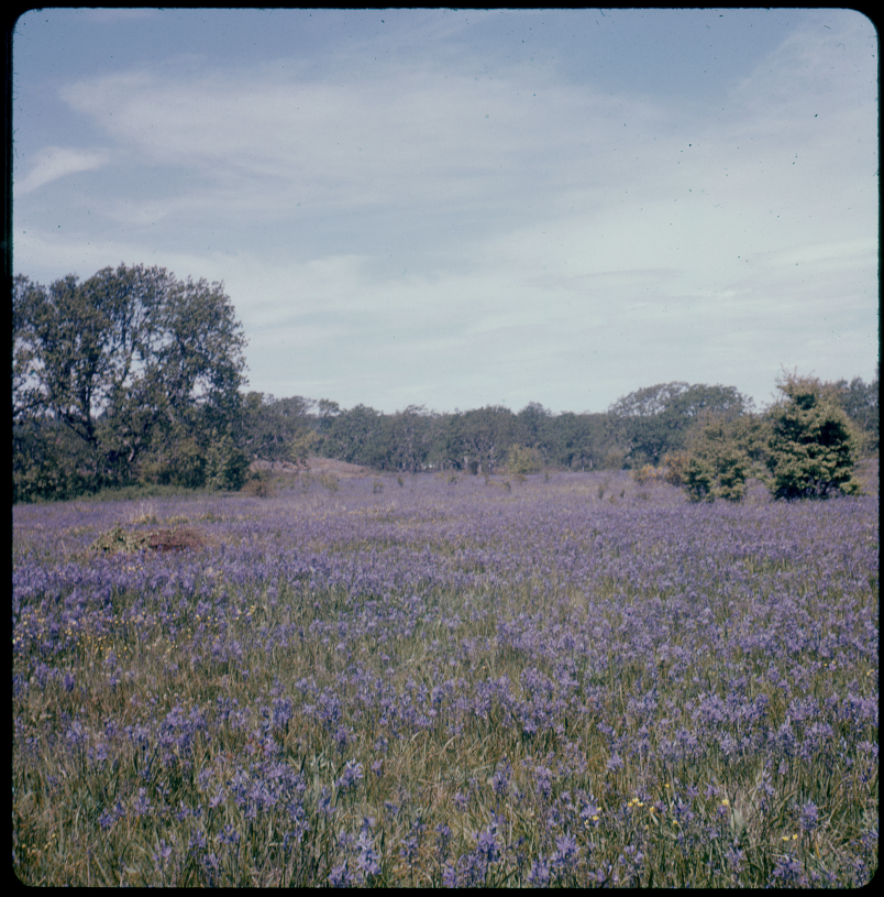 Field of Camas, Uplands Park