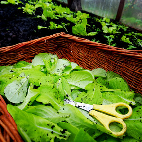 Collecting salad leaves