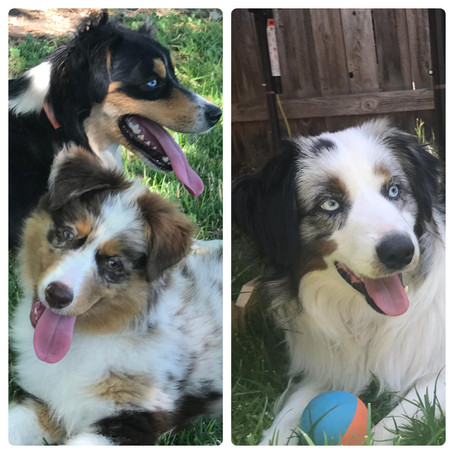 Blue Merle or Red Merle? How to Tell..