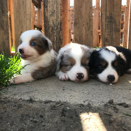 5 Week Old TOY/Small Minis!
