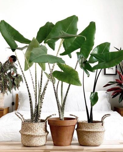 alocasia zebrina Pflanze