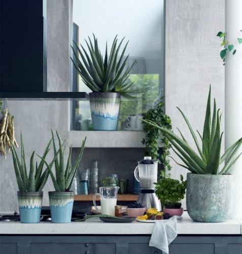 Aloe Vera Zimmerpflanze