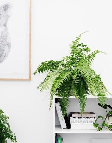 Boston Farn Zimmerpflanze