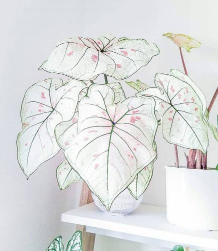 calladium white queen Zimmerpflanze