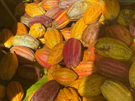 News from the Cacao Trail