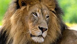 animal-hero-lionB.jpg