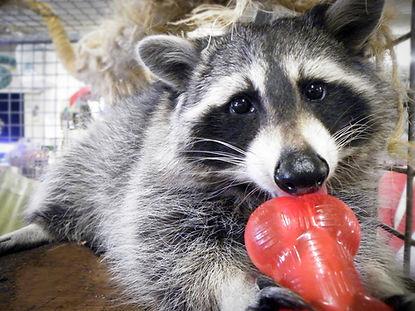 raccoon, Discount Pet Warehouse, Scunthorpe