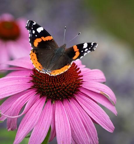 SchmetterlingNL.jpg