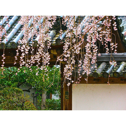 Rooftop Blossoms, Kyoto 2012 by Tom Adams