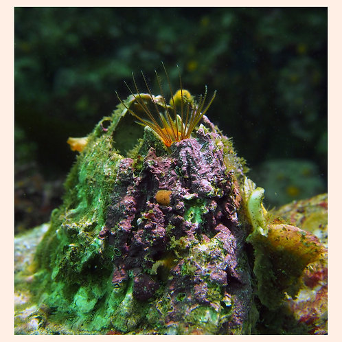 The Biggest, Tiny Barnacle by C. Alexander Martin