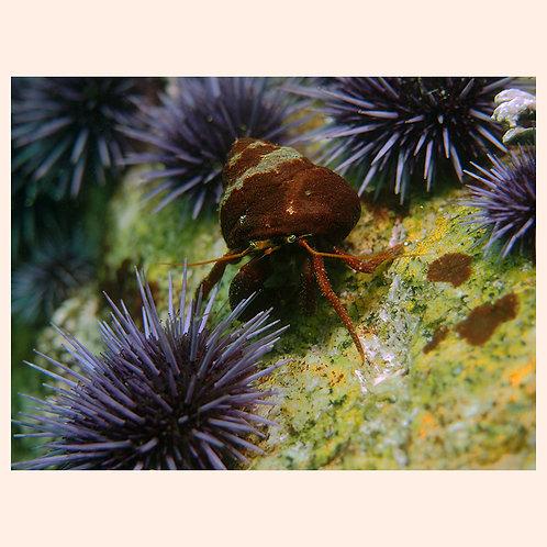 Mr. Hermit Found Some Sea Urchins by C. Alexander Martin