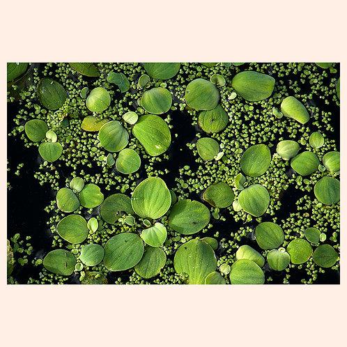 """WATER LILIES: DELRAY BEACH  by KAREN """"K.C."""" COHEN"""