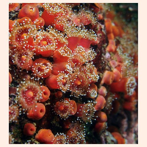 A Sea of Strawberry Anemones by C. Alexander Martin