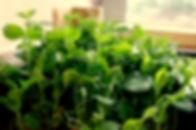 vertical+farming+aeroponic+peas.jpg