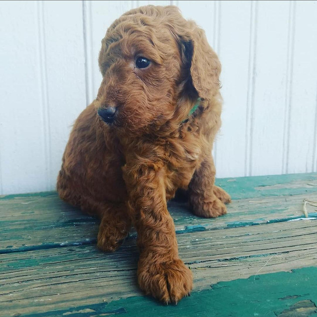 Goldendoodles for sale