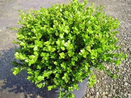 Buxus microphylla 'Winter Gem Boxwood' - 3 gal. pot