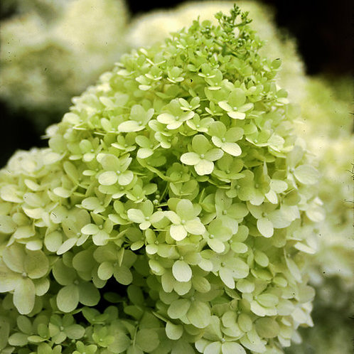 Hydrangea 'Limelight' - 3 gal. pot