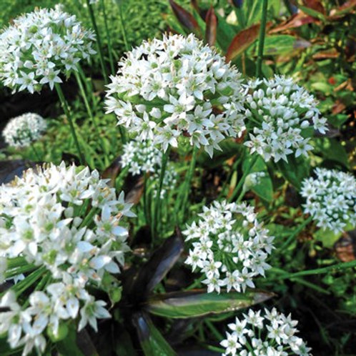 Herb, Garlic Chives 3.25 in pot