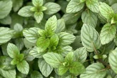 Herb, Mint Chocolate 3.25 in pot