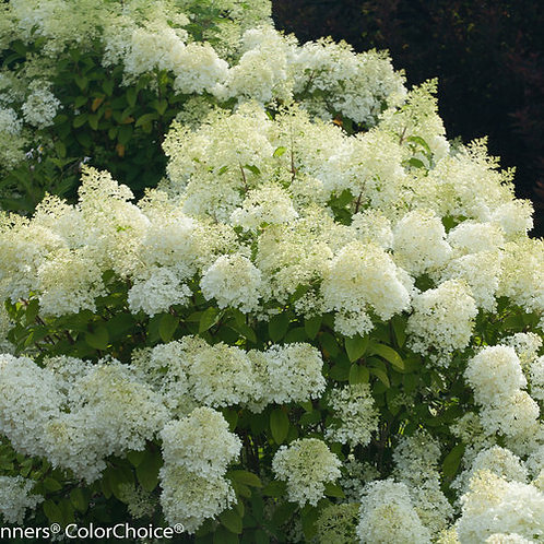 Panicle Hydrangea 'BOBO' - 2 gal. pot