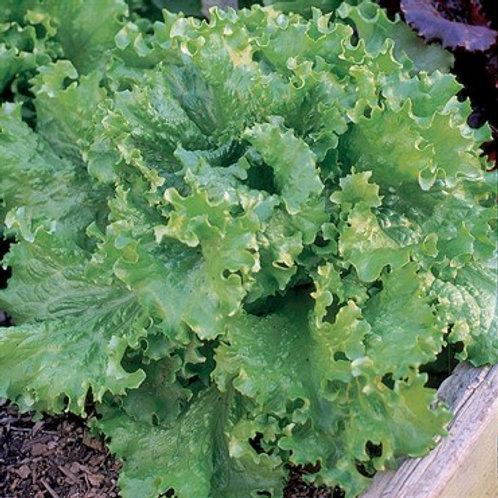 Lettuce, Black Seeded Simpson 2 pk