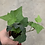 "Thumbnail: Ivy English 2.5"" pot"