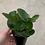 """Thumbnail: Peperomia 3.5"""" pot"""