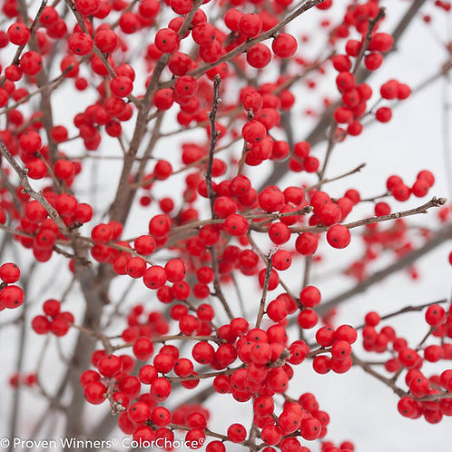 Winterberry Holly 'Berry Poppins' 3 gal. pot