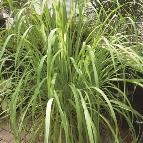 Herb, Lemon Grass East Indian 4.5 in pot