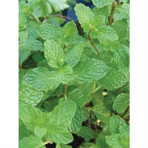 Herb, Peppermint 3.25 in pot