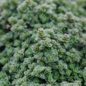 Herb, Thyme Wooly  3.25 in. pot