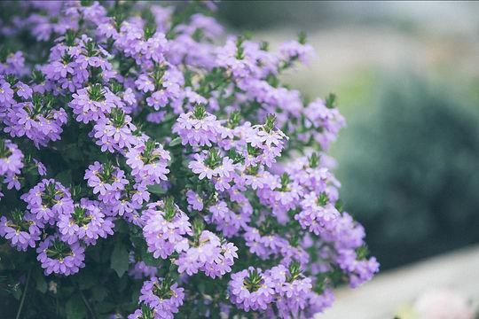 PurpleFlowers-8.jpg