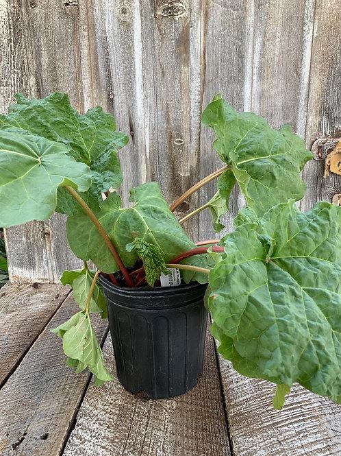 Rhubarb, Victoria - 1 Gallon Pot