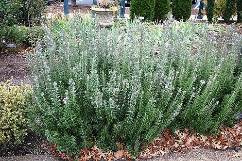 Herb, Rosemary Arp 3.25 in. pot