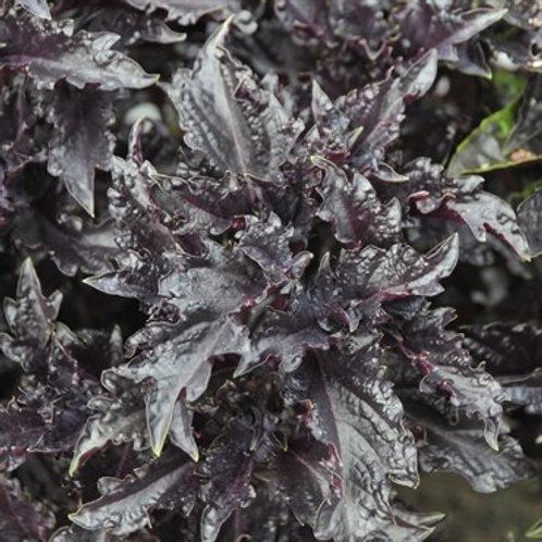 Herb, Basil, Purple Ruffles 3.25 in pot