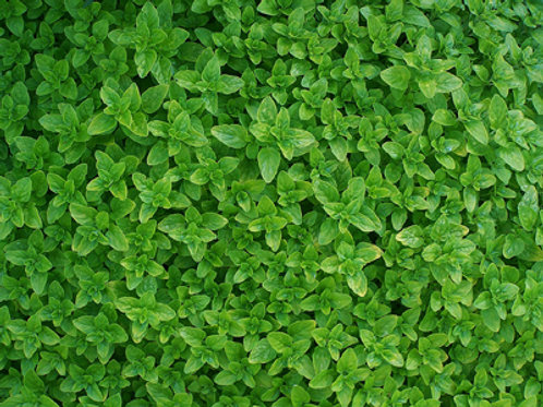 Herb, Oregano Italian 3.25 in. pot
