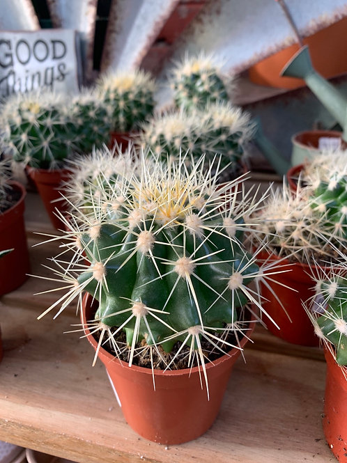 "Golden Barrel Cactus 3.25"" pot"
