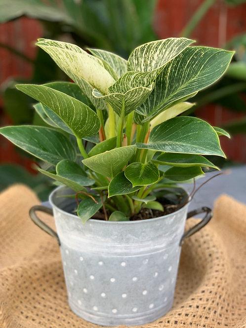"Philodendron 'Birken' 6"" pot"